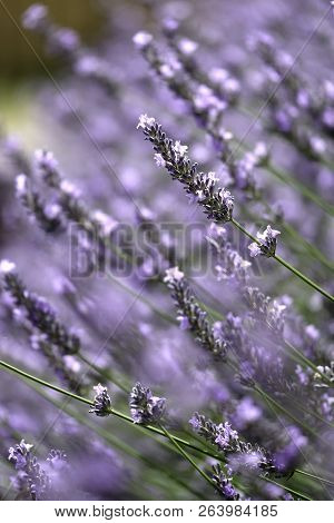 Close Up Of Lavender Bud With Shallow Depth Of Field