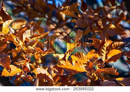 Weathered Brown Foliage On The Branches In Sunlight. Lovely Autumn Background