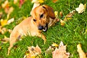 Funny dachshund puppy lay on green grass with autumn maple leaves poster