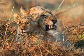 Angry mum. A portrait of a lioness with a cub. poster