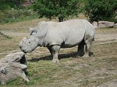 This is a picture of a rhinoceros in a field poster