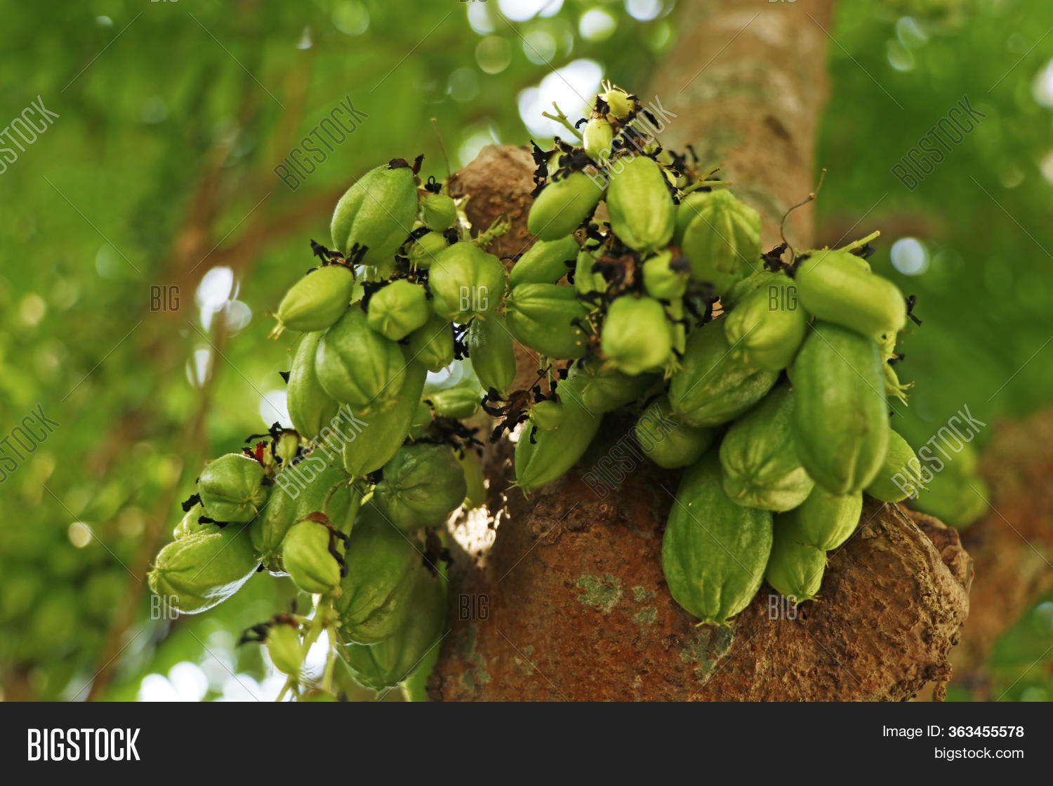 Averrhoa Bilimbi (commonly Known As Bilimbi, Cucumber Tree, Or Tree Sorrel,  Bilimbi Is A Small Trop