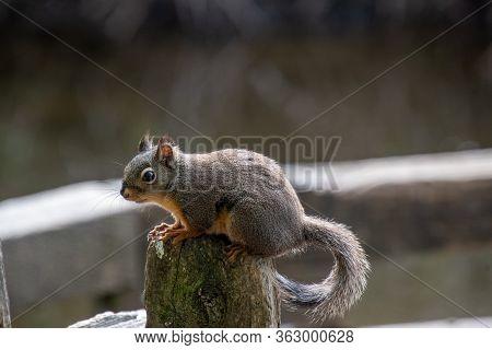 Douglas Squirrel, Squirrel, Douglas , Resting, Stud, Vancouver, Bc, Canada