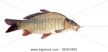 carp on a fishing hook isolated over white poster