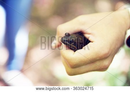 Brown Wet Frog Sitting On His Hand In The Rain . A Witty Frog Sits On A Man S Hand. Beautiful Little