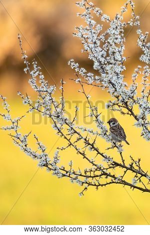 Eurasian Tree Sparrow (passer Montanus), Passerine Bird In The Sparrow Family Perched On Flowering T