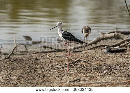 Black-winged Stilt (himantopus Himantopus) In