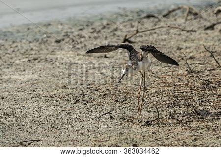 Breeding Of Black-winged Stilt (himantopus Himantopus) In