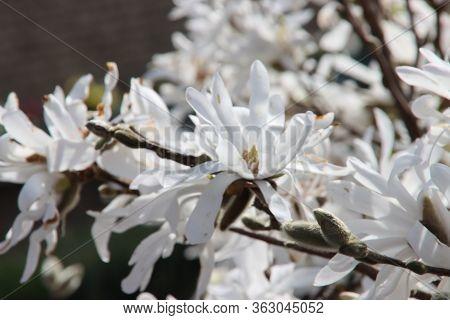 Magnolia Stellata, Sometimes Called The Star Magnolia With White Blossom In A Garden In Nieuwerkerk