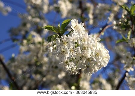 White Cherry Tree Blossom With Blue Sky In The Background In Spring\nin The Netherlands