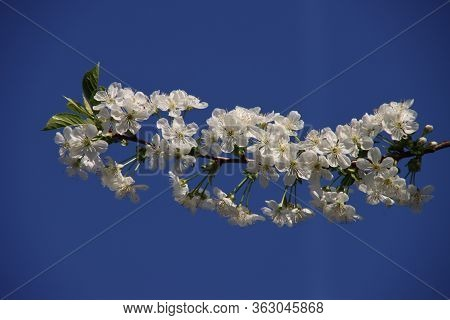 White Cherry Tree Blossom With Blue Sky In The Background In Spring In The Netherlands