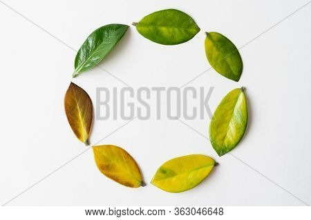 Green Tree Leaf Among Yellow Leaves. Conceptual Image Of Ecology And Sustainable Agriculture.