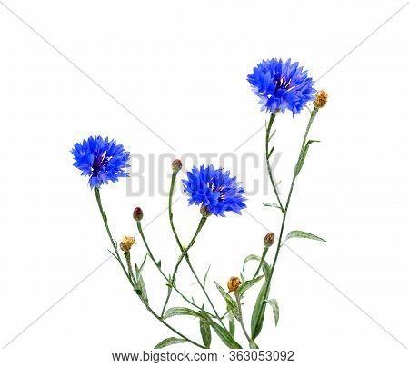 A Bouquet Of Cornflower Flower. Blue Cornflower Herb Or Bachelor Button Flower Bouquet Isolated On W
