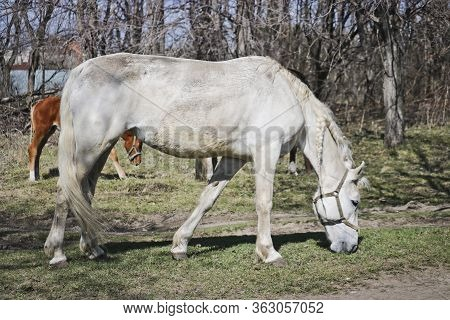 White Old Nag Horse Grazes In Early Spring At Outdoor
