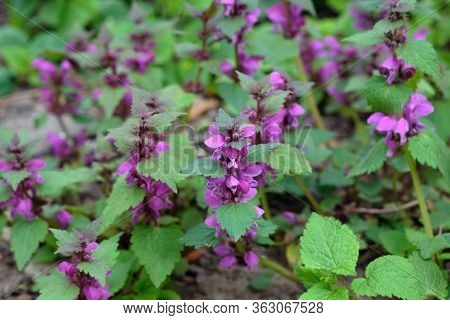 Lamium Purpureum, Known As Red Dead-nettle, Purple Deadly Flower Close-up. Perennial Plant In The Fl