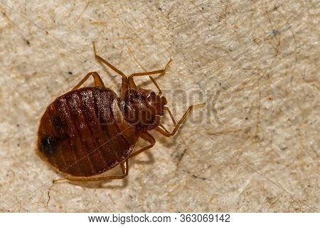 A Close Up Of A Common Bed Bug Found In Connecticut United States.