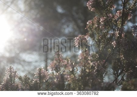 Some Pink Flowers In Backlight In Winter