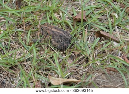 Small Frog Toad On Green Grass Yard
