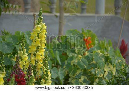 Close Up Of  Yellow, Perennial Salvia, Nemorosa, Salvia Divinorum, Salvia Officinalis With Green Lea