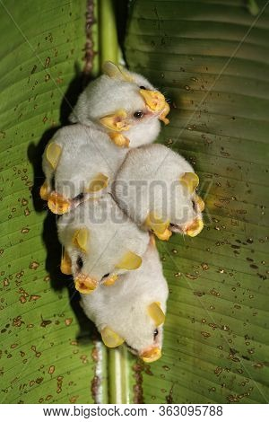 Roosting Colony Of Honduran White Bats (ectophylla Alba), Costa Rica