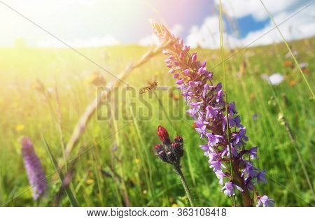 Sunny summer meadow. Blooming windflowers under sunshine