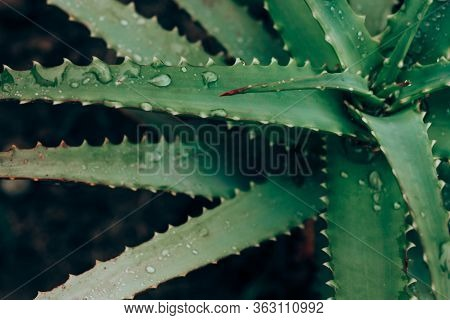 Beautiful Foliage In Dark Green Color. Droplets Of Water Leaf On Aloe Vera Leaf Closeup. Nature Back