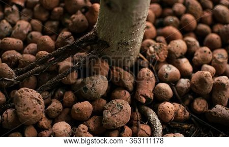 Home-grown Plant With Well-grown Roots In Expanded Clay Granules Grown In Passive Hemihydroponics. T