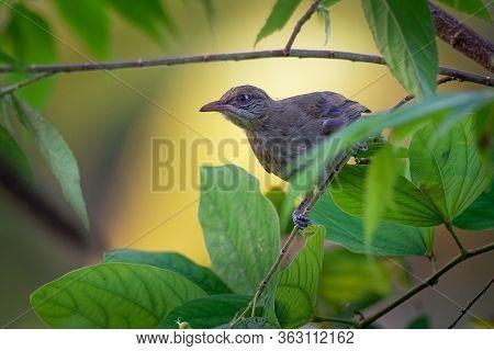 Streak-eared Bulbul - Pycnonotus Blanfordi The Bulbul Family Of Passerine Birds, Found From Thailand