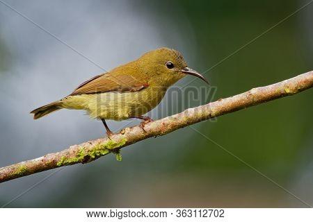 Bird Temmincks Sunbird - Aethopyga Temminckii Species Of Sunbird, Found In Borneo, Sumatra, Malaysia