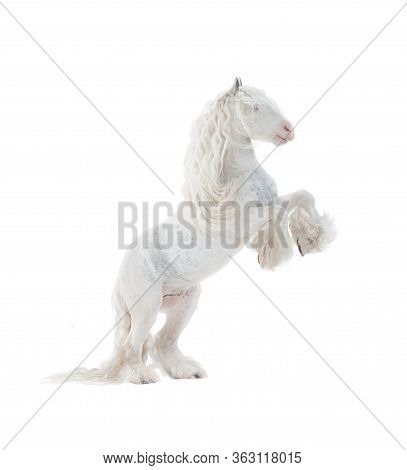 Beautiful Snow-white Cob Stallion Rearing Over A White Background. White Horse On White. Fairy Horse
