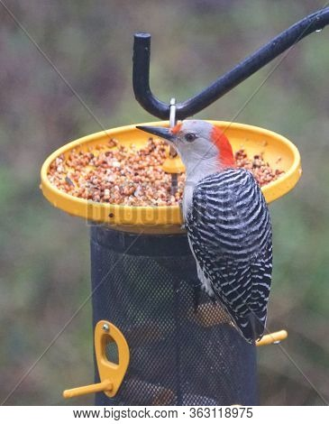 A Red-bellied Woodpecker Eating Seeds On The Bird Feeder