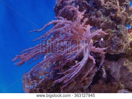 Beautiful Pink Corals In Saltwater Aquarium With Blue Background