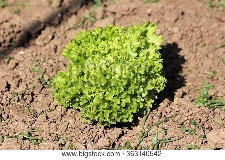 Fresh Organic Young Light Green Dense Multi Layered Lettuce Or Lactuca Sativa Annual Plant Planted I