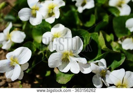 Macro Photo Of Violet Flower.blooming Violet With White Petals. Violet Grows In A Clearing On A Back