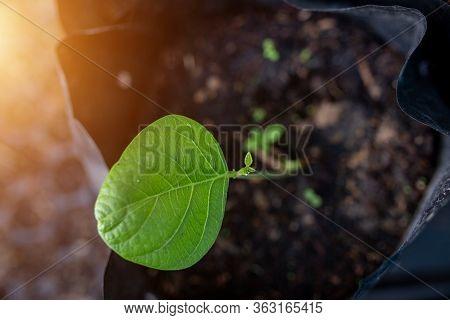 Butea Frondosa Seedlings Are Grown In Planting Bags.