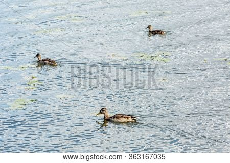Three Beautiful Migratory Wild Ducks Floating On A Pond, A Brown Plumage And A Yellow Beak, Traces O
