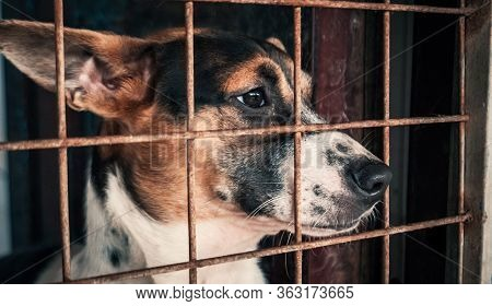 Portrait Of Sad Dog In Shelter Behind Fence Waiting To Be Rescued And Adopted To New Home. Shelter F