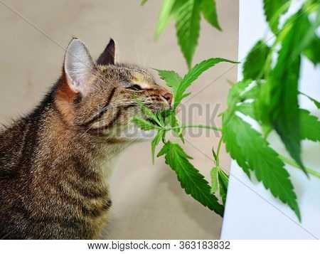 A domestic tabby cat eating and smelling fresh cannabis ruderalis leaves at a white windowsill