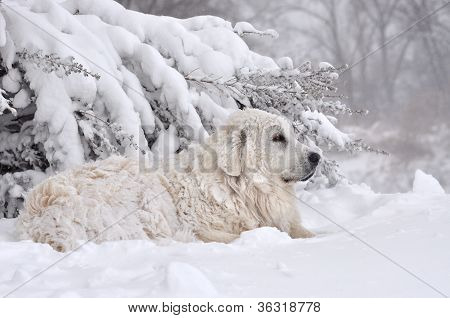 Great Pyrenees in the snow