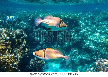 Pair Of Arabian Picassofish (rhinecanthus Assasi, Triggerfish) In A Coral Reef In Red Sea, Egypt. Tw