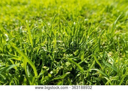 Fresh Green Grass On The Field Or Lawn. Blades Of Grass, Spring Or Summer Meadow. Soft Focus.