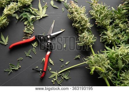 Trim Before Drying. Harvest Weed Time Has Come. Mans Hands Trimming Marijuana Bud.