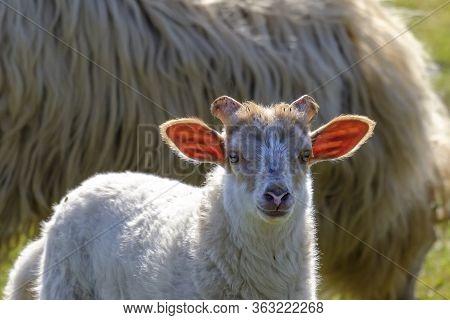 Dutch Sheep Lamb. A White Lamb Looks Cheerfully At The Camera, The Sun Shines Through The Lambs Ears