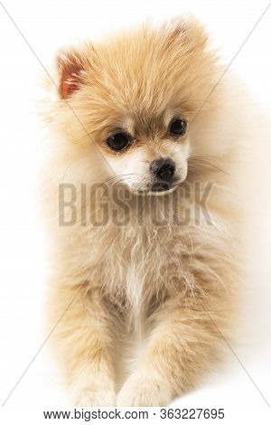 Little Pomeranian First Molt. Pomeranian On A White Background. Photos For Dog Breeders