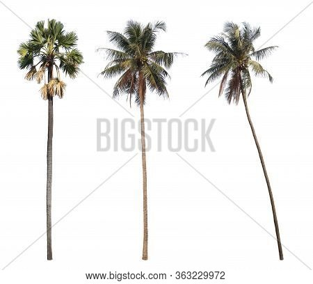 Sugar Palm And Coconut Trees Isolated On White Background.