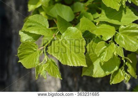 Small-leaved Lime Leaves - Latin Name - Tilia Cordata