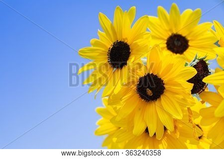 Sunflower In Garden At Sunny Summer Or Spring Day For Decoration And Agriculture Design. Yellow Flow