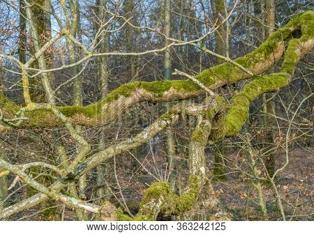 Natural Forest Scenery Including A Big Bough Closeup At Early Spring Time