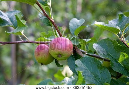 Shiny Delicious Green Apples On A Branch Ready To Be Harvested In An Apple Orchard..