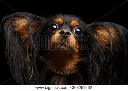 Russian Toy Terrier Isolated On Black Background